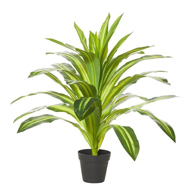 ROGUE Dracaena Plant-Garden Pot